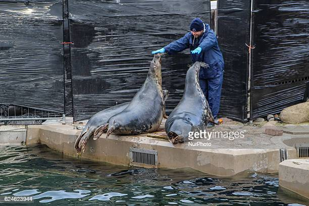 Feeding and medical examination of gray seals living in the Research Station of the University of Gdansk on the Hel Peninsula named Fokarium is seen...