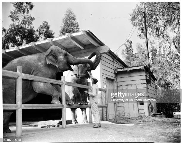 Feeding animals at Griffith Park Zoo 11 October 1957 Bert Smith Chimps 'Sally' and 'Gus'Roger Bearanchi George Ray 'Joyce' and 'Bojo' elephant sister...