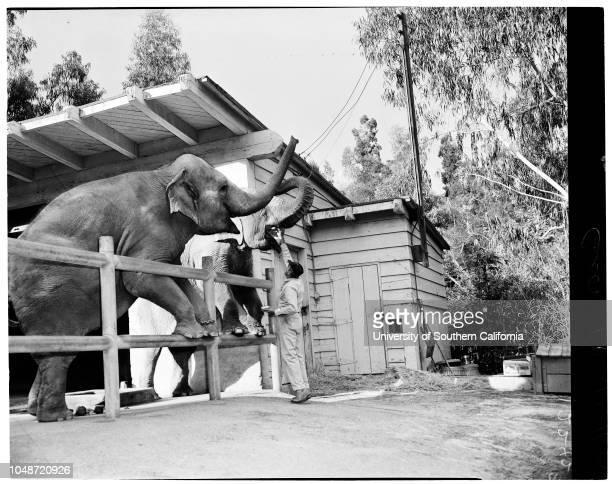 Feeding animals at Griffith Park Zoo 11 October 1957 Bert Smith Chimps 'Sally' and 'Gus'Roger Bearanchi George Ray 'Joyce' and 'Bojo' elephant sister...