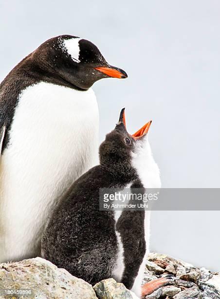 Feeding baby gentoo penguins