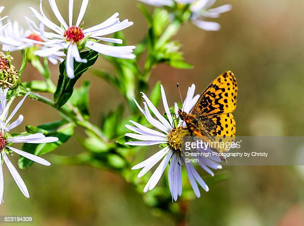 a feeding butterfly - monongahela national forest stock photos and pictures