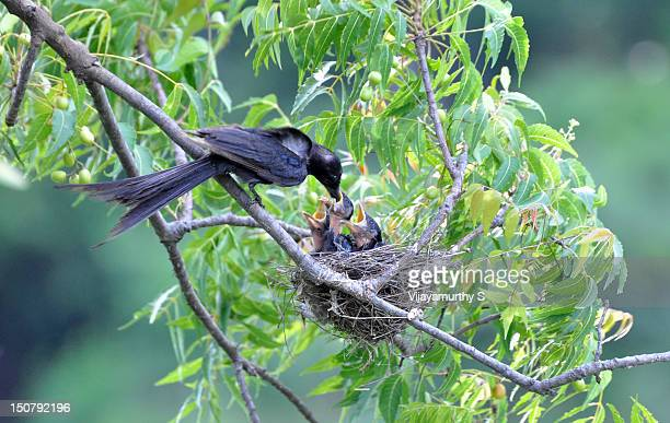 feeding drongo - birds nest stock photos and pictures
