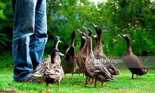 feeding  ducks - duck bird stock pictures, royalty-free photos & images