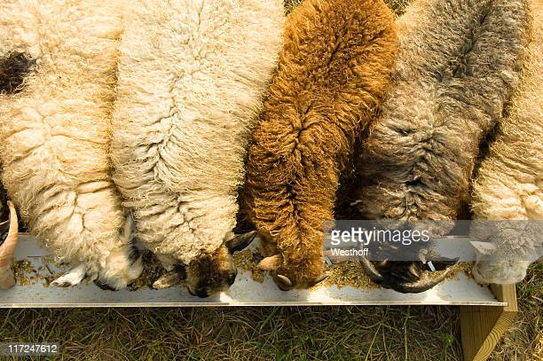 feeding freenzy - icelandic sheep stock photos and pictures