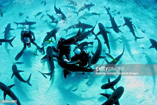 feeding frenzy of caribbean reef sharks at shark arena, nassau, the bahamas. - frenesí depredador fotografías e imágenes de stock
