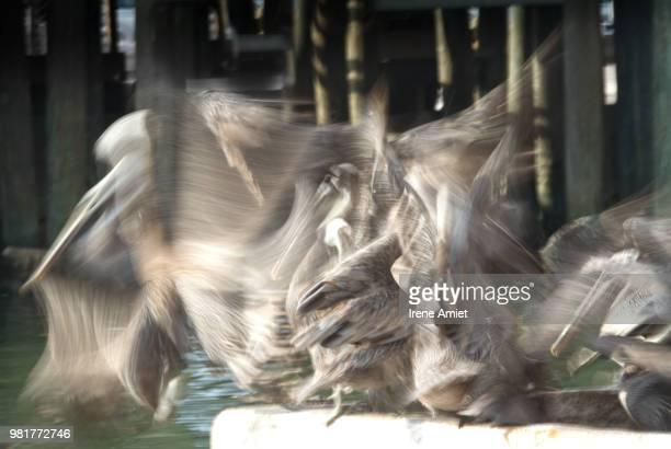 feeding frenzy - irene fischer stock-fotos und bilder