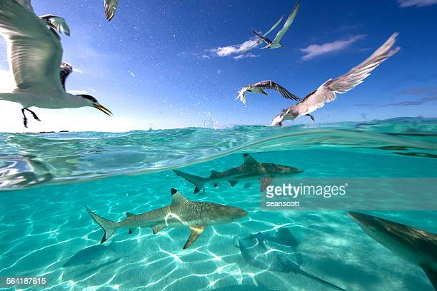 feeding frenzy with birds, rays and black tip sharks, tahiti, french polynesia - frenesí depredador fotografías e imágenes de stock
