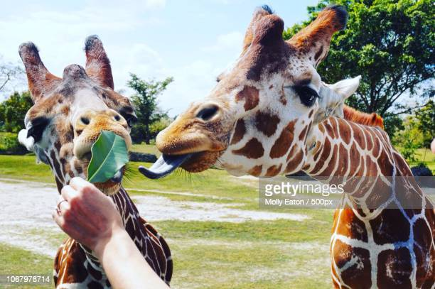 feeding giraffes in zoo - giraffe stock pictures, royalty-free photos & images