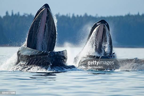 feeding humpback whales, alaska - ザトウクジラ ストックフォトと画像