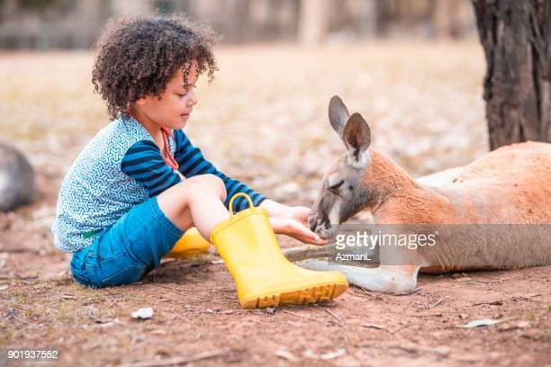 feeding kangaroo on a farm - marsupial imagens e fotografias de stock