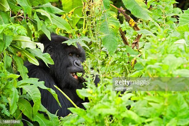 Feeding Mountain Gorilla, wildlife shot