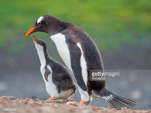 Feeding of chick Gentoo penguin on the Falkland Islands South America January