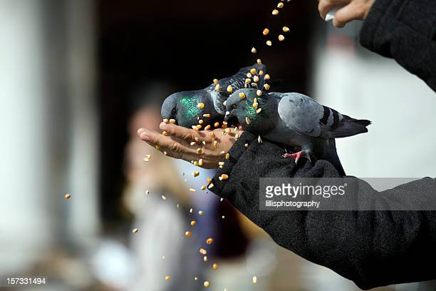 feeding pigeons st. mark's square venice - pigeon stock pictures, royalty-free photos & images