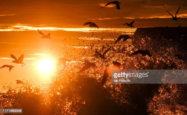 Feeding sea birds are disturbed by waves that break against the shoreline as the sun rises over the North Sea on September 3 2019 in Saltburn By The...