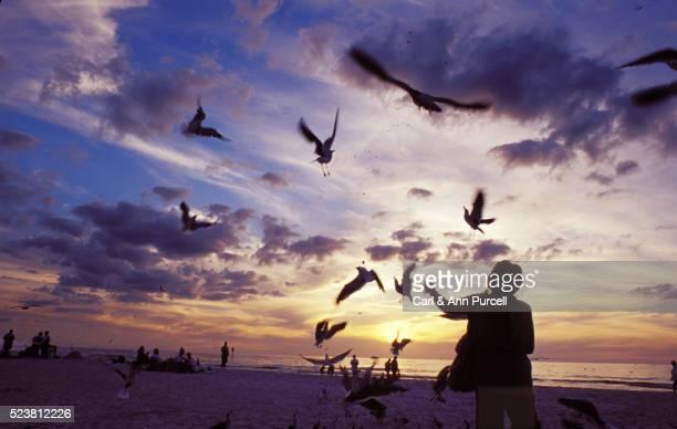 feeding seagulls at dusk on st. petersburg beach in florida - フロリダ セントピーターズバーグ ストックフォトと画像