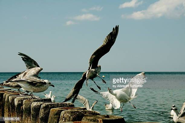 feeding seagulls - albrecht schlotter stock photos and pictures