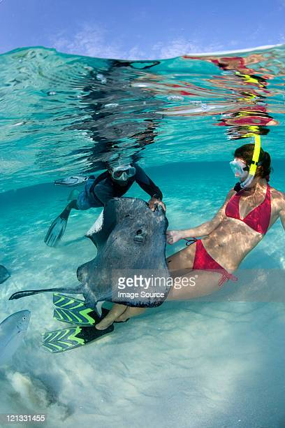 feeding southern stingray - stingray stock photos and pictures