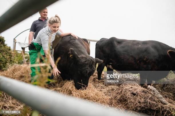 feeding the cows - field stock pictures, royalty-free photos & images