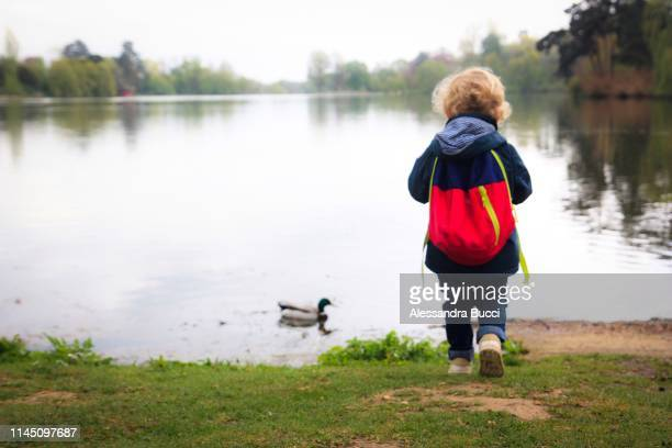 feeding the ducks - duck bird stock pictures, royalty-free photos & images