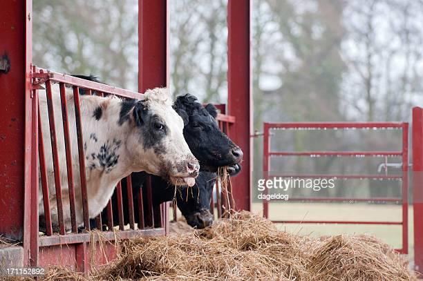 feeding the herd