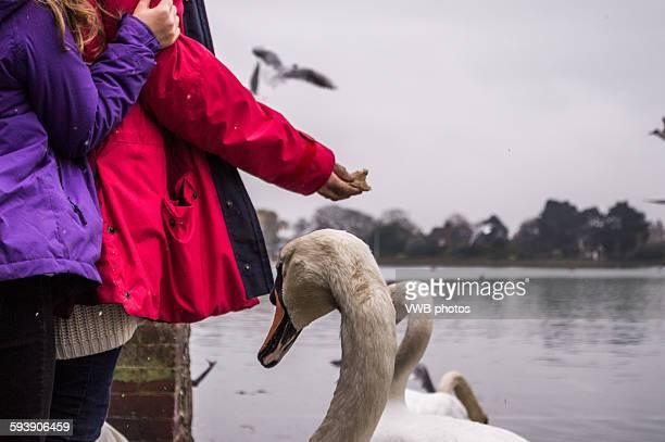 Feeding the swans, Bosham, East Sussex, England.