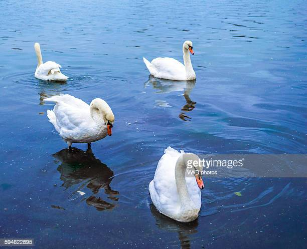 Feeding the swans, Bosham, East Sussex, England