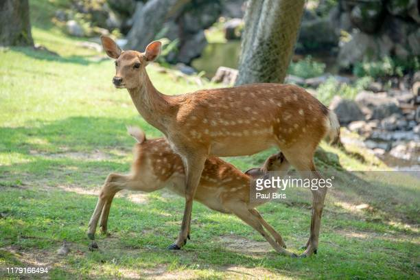 feeding time, deers at nara park in the summer, nara, japan - biche photos et images de collection