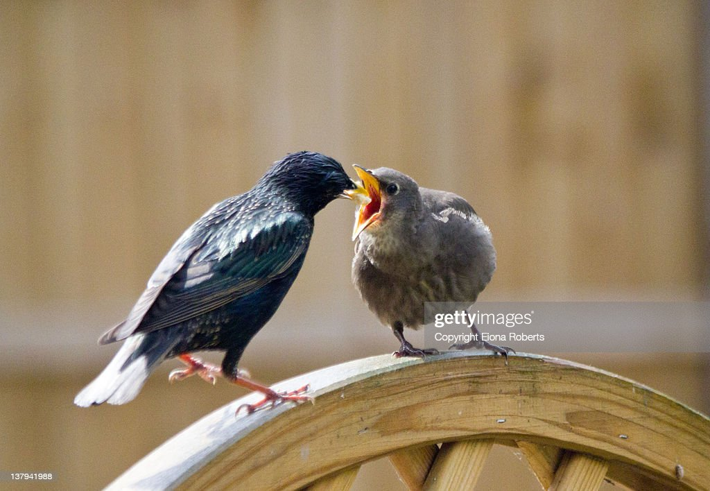 Feeding time for fledgling : Stock Photo