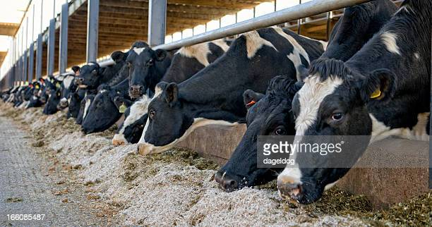 feeding time - dairy cattle stock pictures, royalty-free photos & images
