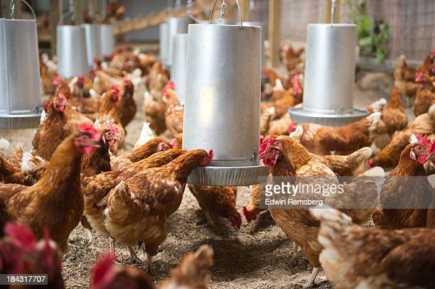 feeding time - 家禽 ストックフォトと画像
