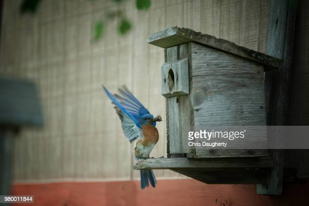 feeding time - eastern bluebird stock pictures, royalty-free photos & images