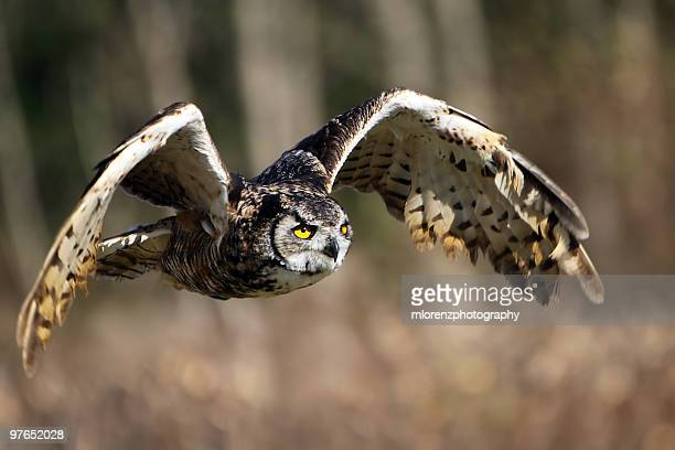feeling free - great horned owl stock pictures, royalty-free photos & images