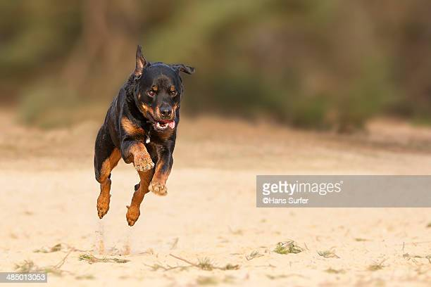 A 3 feet high flying Rottweiler!