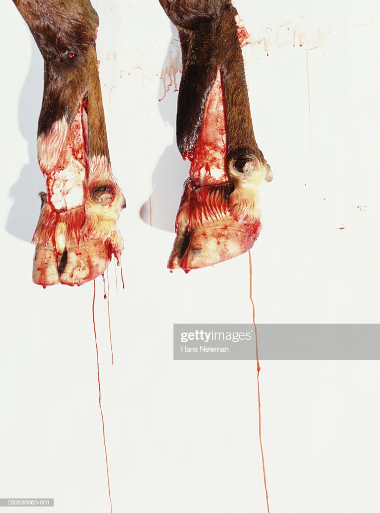 Feet Of Slaughtered Cow Dripping Blood Stock Photo Getty Images