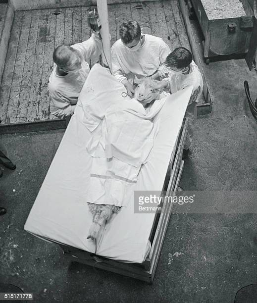 Feet sticking out from under clean sheets a patient Angora Goat known as number 23 gets a blood transfusion in the hold of the attack transport USS...
