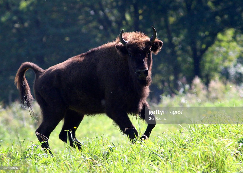 Feisty Wisent bull : Stock Photo
