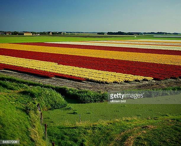 Feld mit Tulpen bei Den Helder