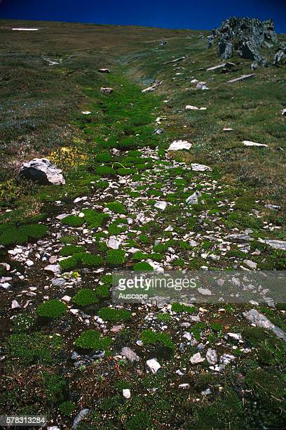 Feldmark habitat occurring in areas of extreme cold and wind on bare rocky alpine slopes and ridges The plant growth is severely restricted as a...
