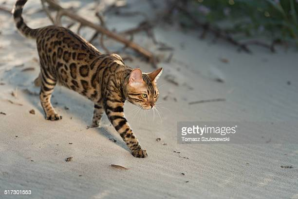 feline beach time - bengal cat stock pictures, royalty-free photos & images
