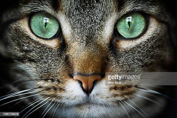 feline - green eyes stock pictures, royalty-free photos & images