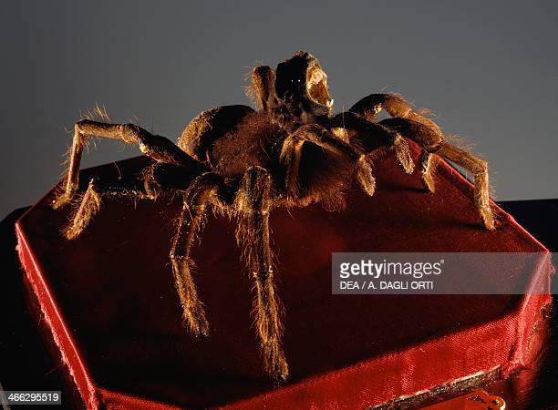 Feline tarantula which ate their victims and it was believed that through its bite it procured the plague Supernatural