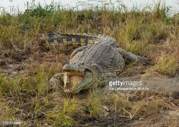 Felix HouphouetBoigny's sacred crocodile living in the artificial lake of the presidential palace Région des Lacs Yamoussoukro Ivory Coast on May 8...