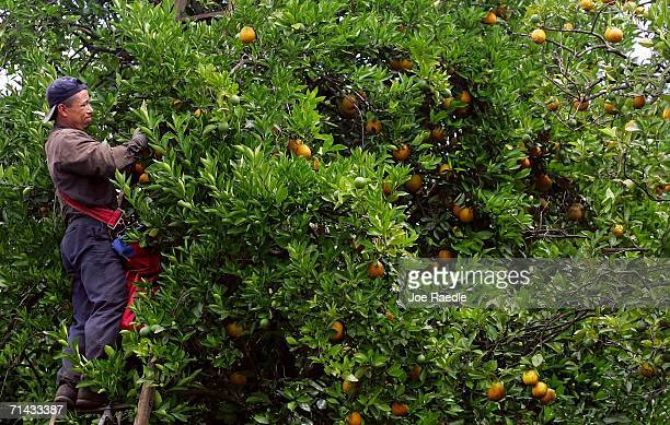 Felix Sarante who is in the US on an H2A guest worker visa picks oranges for Sorrells Brothers Packing Co Inc July 13 2006 in Arcadia Florida For the...