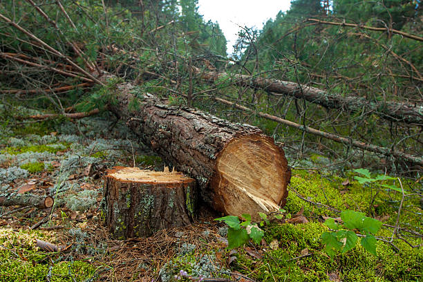 Cut Down The Chainsaw Felled A Pine Tree In Forest