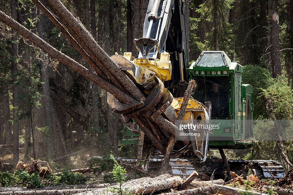 A feller buncher harvests pine trees in a forest near