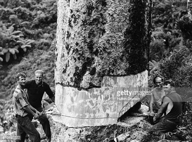 Felling a Kauri Tree