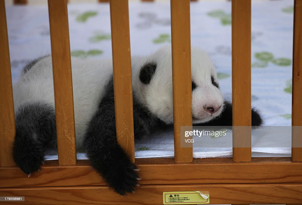 A female 50-day-old giant panda, 2,380 grams in weight, makes her debut at Shaanxi Province Rare Wildlife Rescue and Breeding Research Center on September 5, 2013 in Xi An, China. 8-year-old giant panda Xin Xin gave birth to the baby on July 18 after being artificially inseminated.