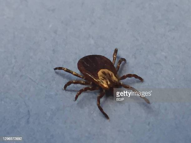 Female adult dog tick, or Dermacentor variabilis, crawls on a vial of blood. Dog ticks can transmit pathogens that cause tickborne diseases such as...