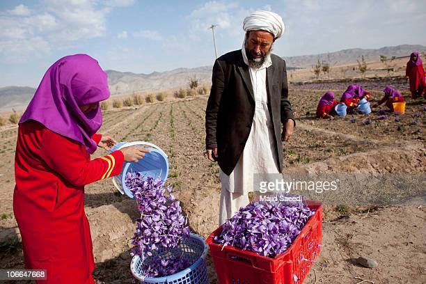 A female Afghan worker pluck saffron flowers on a farm on November 09 2010 in Herat Afghanistan Around 2500 farmers in eight provinces are working on...