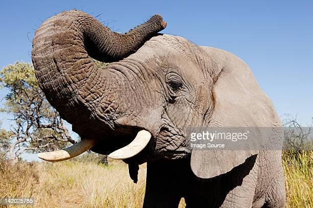 Female African Elephant, Botswana, Africa